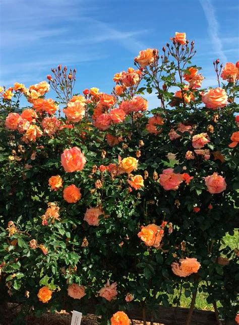 tangerine skies arborose root rosa climber tangerine