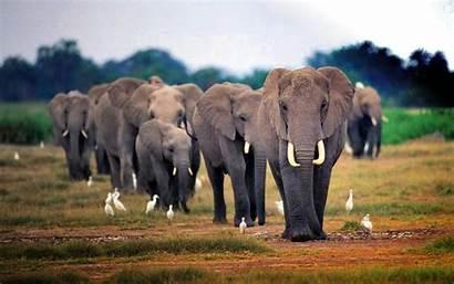 Elephant African Wallpapers Backgrounds Desktop Keywords