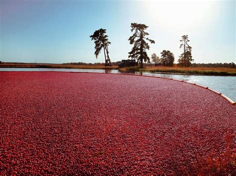 Five Cranberry Bogs You Can Tour In Massachusetts Boston