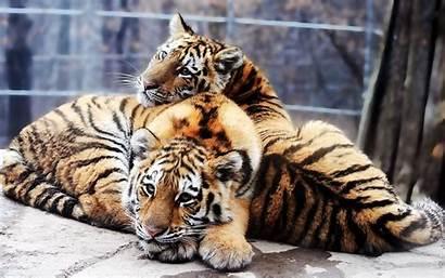 Enamorados Tigres Wallpapers