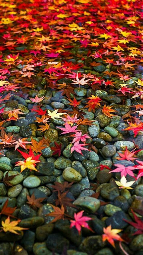 Beautiful Fall Leaves Iphone Wallpaper by Multi Color Leaves Autumn Splendor In 2019 Fall
