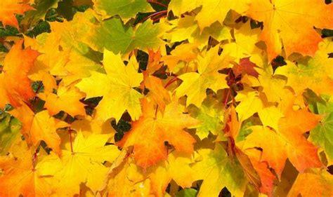 Zelta rudens šogad var būt īpaši krāšņs - Valmieras Ziņas