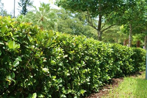 hedge bushes viburnum suspensum hedge sandwanka viburnum 4 8 x4 8 highly salt tolerant well drained to