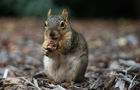 squirrels organize their favorite nuts by type uc