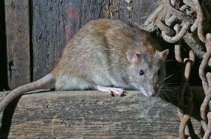 norway rat northwoods stewardship center