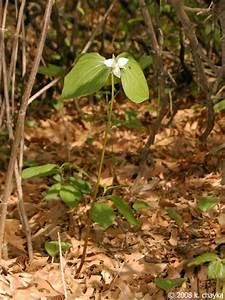 Trillium Flexipes  Drooping Trillium   Minnesota Wildflowers