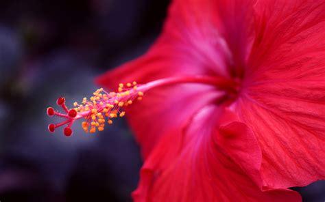 Red Hibiscus Flower Hd Desktop Wallpapers 4k Hd