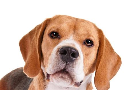 do beagles shed beagle breed information american kennel club