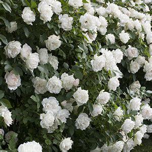 flowering shrubs zone 9 16 high impact fast growing shrubs grow beautifully