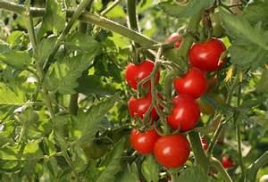 Feuille De Tomate : cultiver la tomate cerise ~ Melissatoandfro.com Idées de Décoration