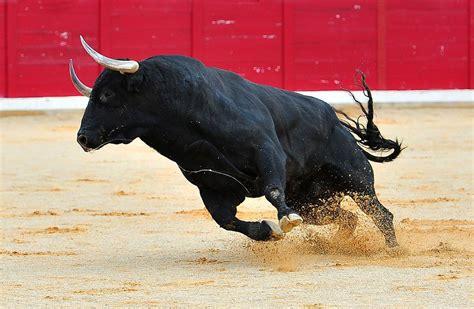 haustiere erlaubt neues gesetz neues gesetz zum stierkf stiere d 252 rfen nicht mehr