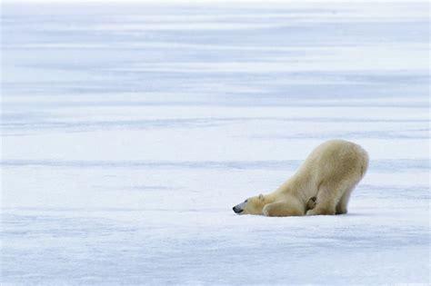 北极熊图片 第10张 尺寸
