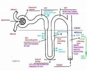 Kidney Nephron Diagram
