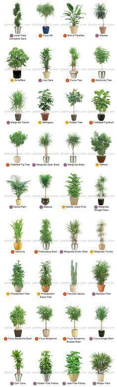 Große Pflanze Wohnzimmer by Gro 223 E Zimmerpflanzen Pflanzen Gro 223 E Zimmerpflanzen