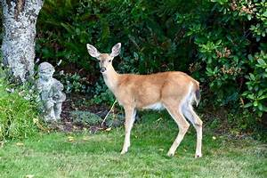 Do Deer Eat Potato Plants  How To Protect Them