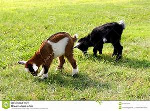 Baby Farm Goats Eating Grass Stock Image