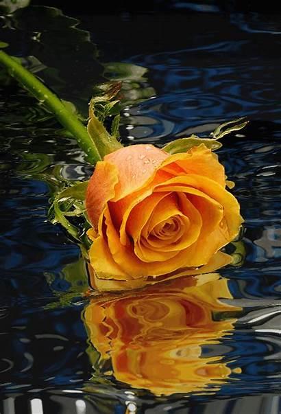 Orange Rosen Blumen