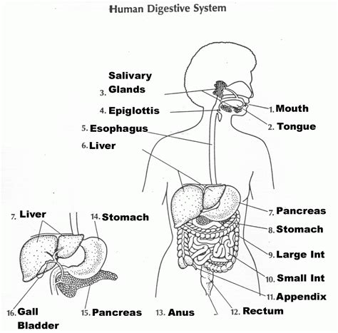 Coloring Pages Of Digestive System Coloring Home