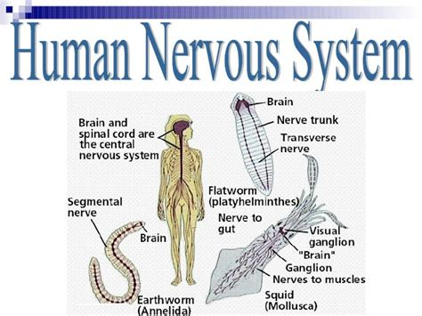 Picture Human Nervous System