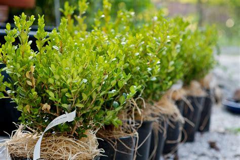 photo    planting boxwood hedges