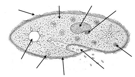 paramecium coloring paramecium coloring coloring pages
