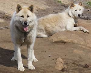 Greenland Dog Info, History, Temperament, Training ...