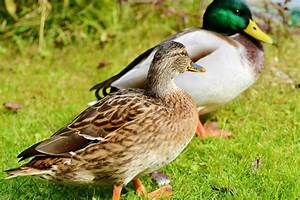 How to Identify Ducks - Birding Tips