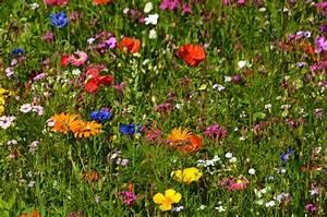 Wiese Mit Blumen : kostenlose foto rasen wiese pr rie blume sommer ~ Watch28wear.com Haus und Dekorationen