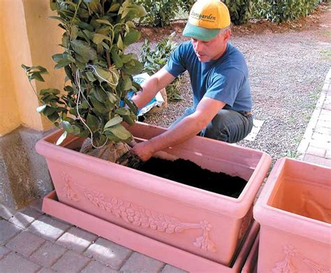 siepe in vaso pianta da siepe in vaso come si mette a dimora e quali