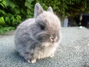 The example of rabbit breeds : Netherland Dwarf – All ...