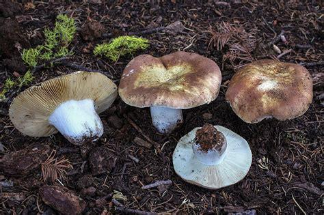 California Fungi: Russula mustelina