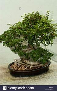 Bonsai Chinesische Ulme : chinesische ulme ulmus parvifolia auf ying tak stein bonsai baum in montreal botanical garden ~ Sanjose-hotels-ca.com Haus und Dekorationen