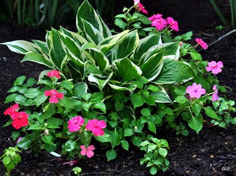 impatiens  hostas garden garden shade garden backyard landscaping