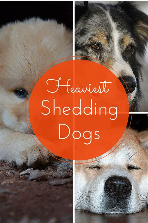 Dogs That Shed The Least Hair by Least Hypoallergenic Dogs Which Dogs Shed The Most
