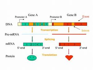 Diagram Of Gene Structure And Gene Expression