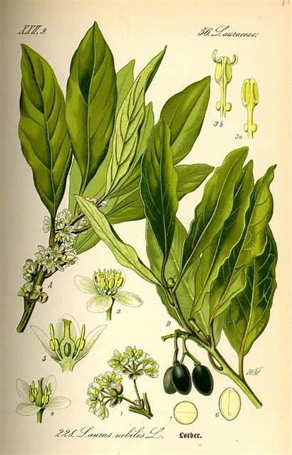 Cardamom Illustration Plant Benefits Facts Health