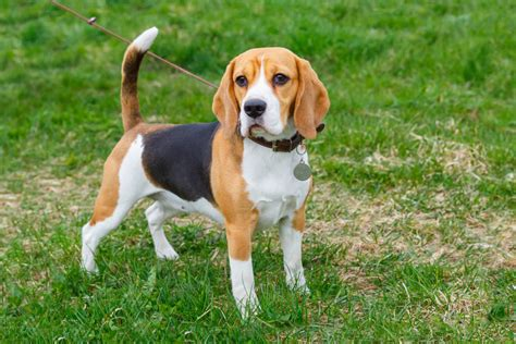 List Of Dogs That Shed Very Little by Should I Get A Pedigree Or A Crossbreed Dog Choosing