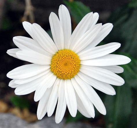 fotos de flores  margaritas de varios colores