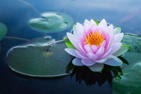 lotusblume bedeutung blumen bedeutung und symbolik nach feng shui entr 228 tselt