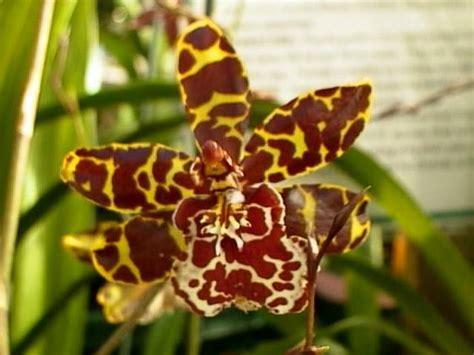 beautiful butterfly orchid oncidium papilio garden