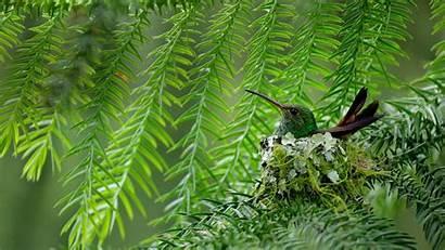 Bing Hummingbird Rufous Tailed Let Introduce Rica