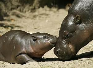 Cuteness Overload: Newborn Pygmy Hippo (13 pics) - Picture ...