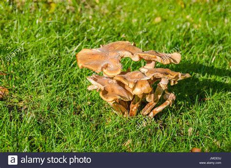 Hallimasch Pilze Im Garten by Hut Stockfotos Hut Bilder Alamy