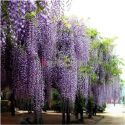 bloom purses 20 40pcs purple wisteria vine tree flower fragrant