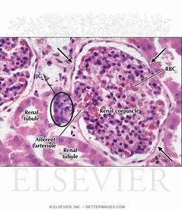 Microscopic View  Renal Corpuscle   Glomerulus