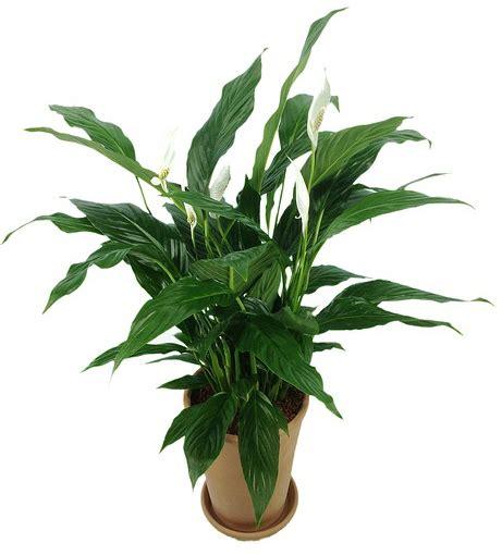 la chambre verte spathiphyllum fleur de lune entretien arrosage rempotage