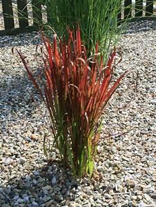 Kübelpflanzen Winterhart Bilder : japanisches blutgras 39 red baron 39 imperata cylindrica var koenigii 39 red baron 39 baumschule ~ Markanthonyermac.com Haus und Dekorationen