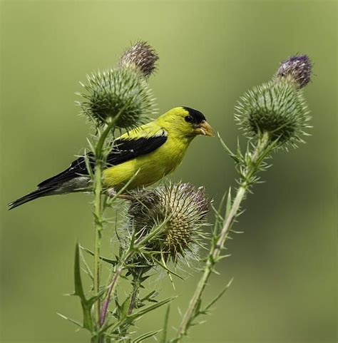 american goldfinch eating thistle seed print by thomas young