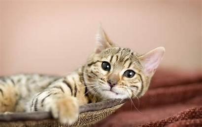 Cat Tiger Lovely Pixelstalk