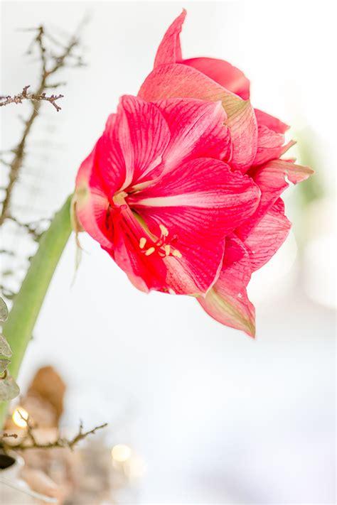 aussergewoehnliche amaryllis  pink zum